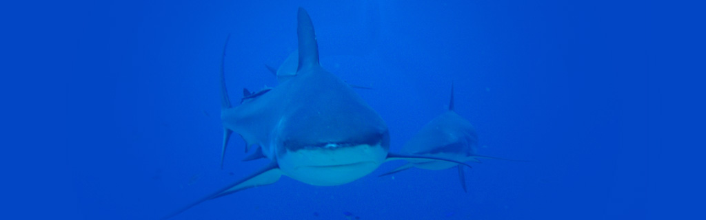 Grey reef shark + Caribbean